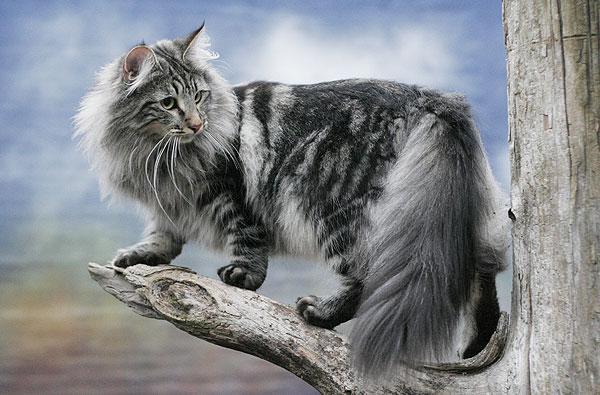 5 Najładniejszych Kotów Rasowych Olfaktoriapl
