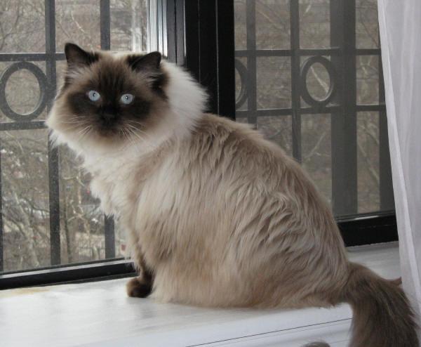 Lord Mój Kot Rasy Ragdoll Olfaktoriapl
